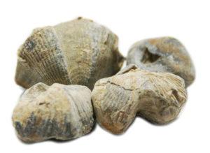 Brachiopod fossil, 25-35mm