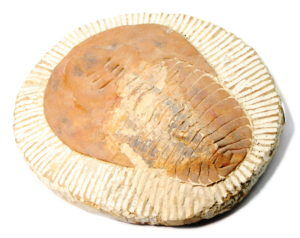 Cambropallas Telesto Trilobite Fossil, 21x25cm, 1.8kg